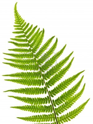 10109497 Green Fern Leaf Isolated On White Background